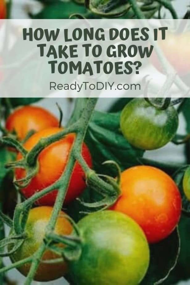 How Long Does It Take to Grow Tomatoes? - Ready To DIY