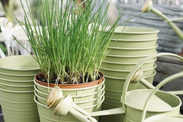 Top Problems Growing Chives And How To Fix It Ready To Diy