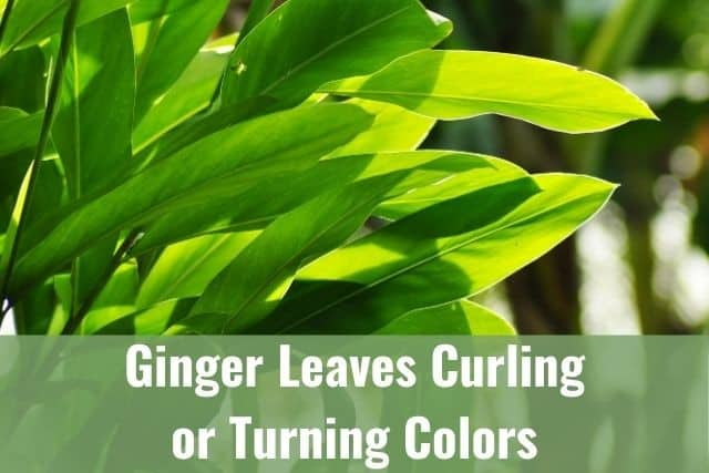 Ginger Leaves Curling or Turning Brown/Yellow/White - Is It Dying?
