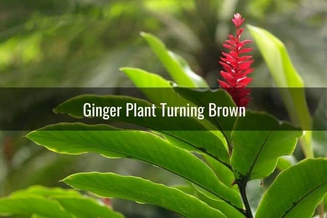 Ginger Plant Turning Brown