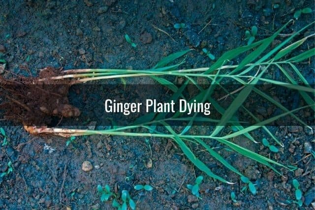 Ginger Plant Dying