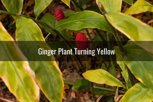 Ginger Plant Turning Yellow