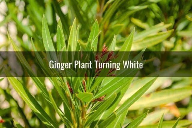 Ginger Plant Turning White