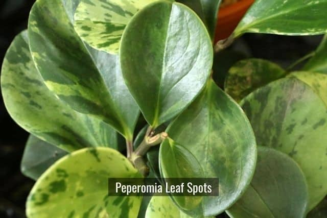 Peperomia Infectious Leaf Spot Diseases