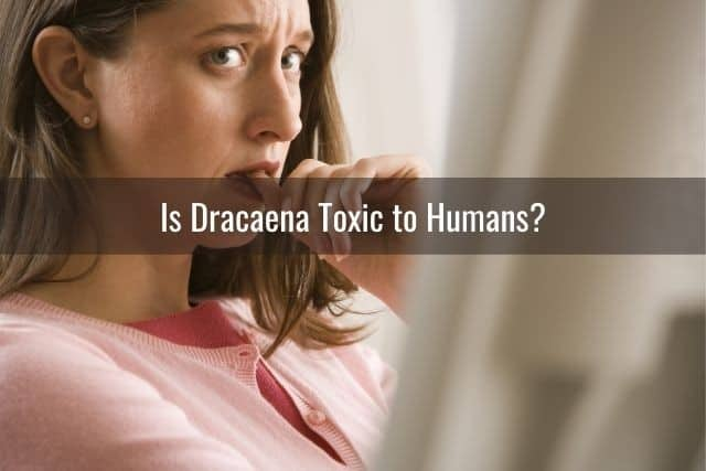 Is Dracaena Toxic to Humans?