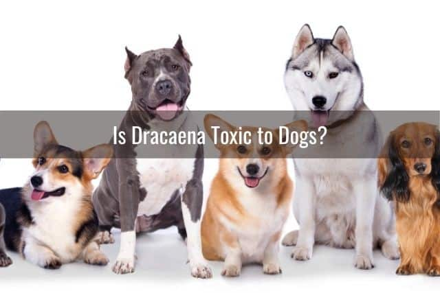 Is Dracaena Toxic to Dogs?