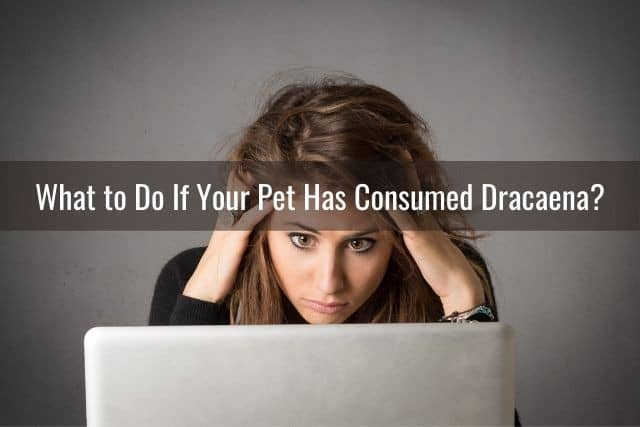 What to Do If Your Pet Has Consumed Dracaena?