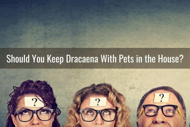 Should You Keep Dracaena With Pets in the House?